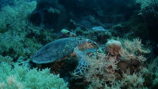 green sea turtle eating soft coral in reef - corallo molle corallo video stock e b–roll