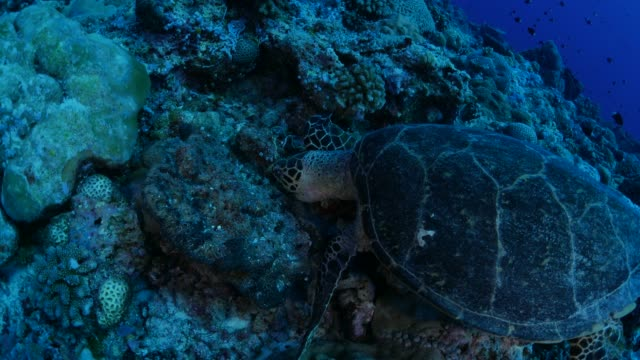 green sea turtle eating soft coral in reef - green turtle stock videos and b-roll footage