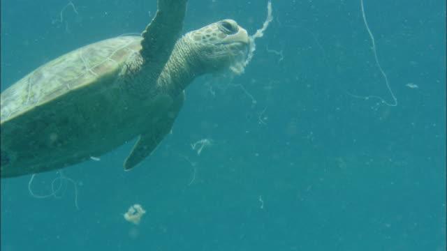 stockvideo's en b-roll-footage met a green sea turtle eats a jelly fish underwater near the ocean surface. - soepschildpad
