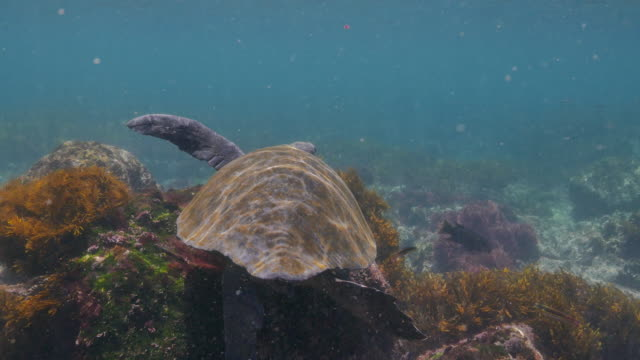 green sea turtle encounter at undersea reef, galapagos - sea grass plant video stock e b–roll
