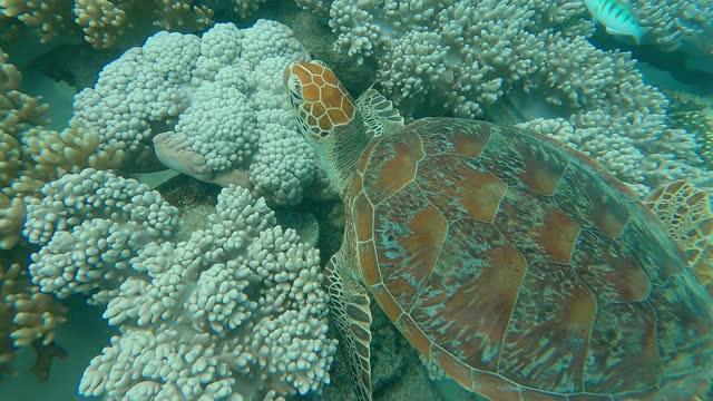 green sea turtle feeding in coral reef underwater, great barrier reef - sea grass plant stock videos & royalty-free footage