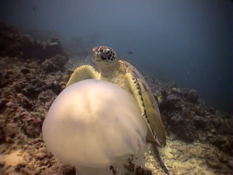 green sea turtle feeding on moon jellyfish - green turtle stock videos and b-roll footage