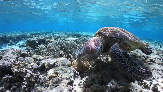green sea turtle feeding on the reef - tropical climate stock videos & royalty-free footage