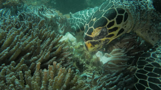 green sea turtle feeding the soft coral, indian ocean, komodo - soft coral stock videos & royalty-free footage