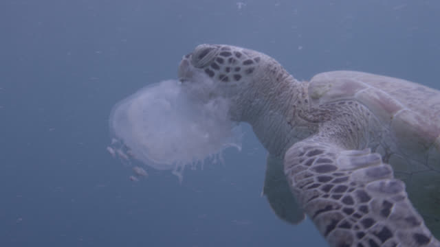 green sea turtle (chelonia midas) feeds on jellyfish, sipadan, malaysia - chelonioidea stock-videos und b-roll-filmmaterial
