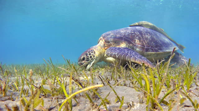 green sea turtle grazing and remora fishes on seagrass bed - green turtle stock videos & royalty-free footage