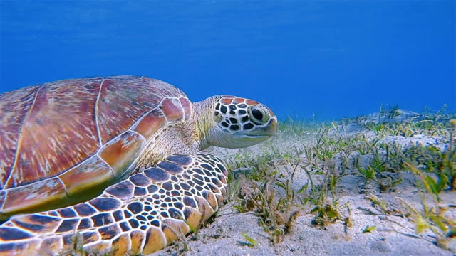 Green Sea Turtle grazing on seagrass bed / Marsa Alam - Red Sea - Egypt