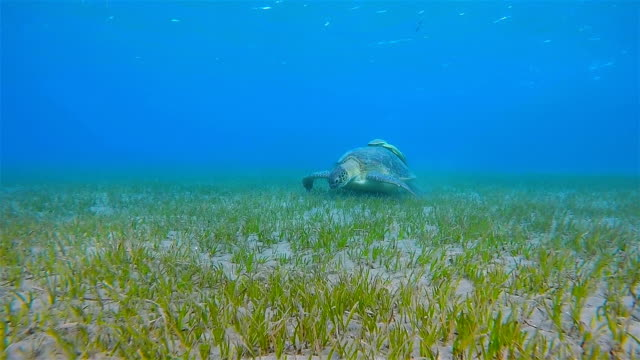 Green Sea Turtle grazing on seagrass bed / Marsa Alam