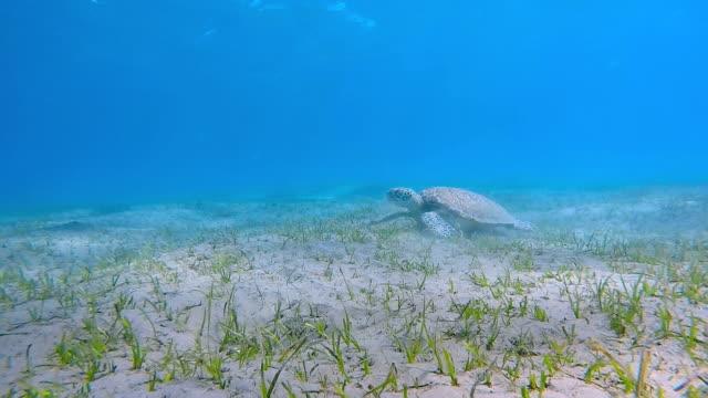 Green Sea Turtle Beweidung auf Seegras-Bett / Marsa Alam