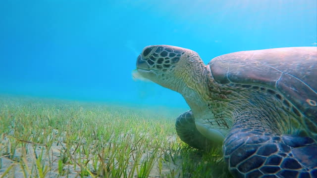 Green Sea Turtle grazing on seagrass bed on Red Sea