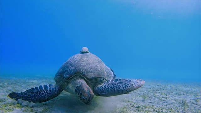 Green Sea Turtle grazing on seagrass bed / Red Sea - Egypt