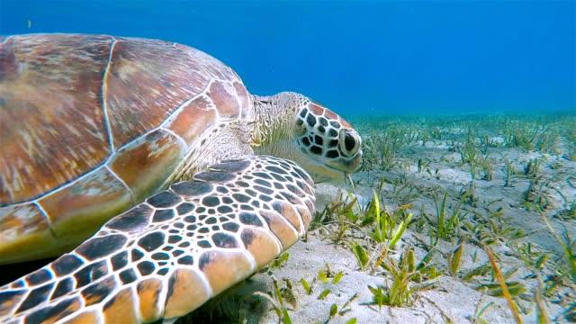 Grüne Meeresschildkröte Grasen auf Seegras-Bett/Rotes Meer