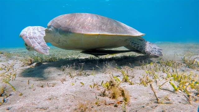 Tortue de mer verte pâturage sur lit de jonc de mer - mer rouge