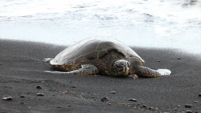 green sea turtle in black beach, hawaii - green turtle stock videos and b-roll footage