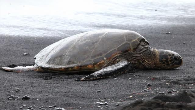 stockvideo's en b-roll-footage met green sea turtle in black beach, hawaii - soepschildpad