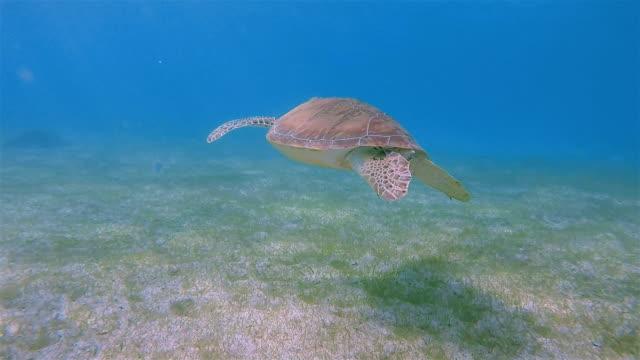 Green Sea Turtle in Caribbean Sea - Akumal Bay - Riviera Maya / Cozumel , Quintana Roo , Mexico