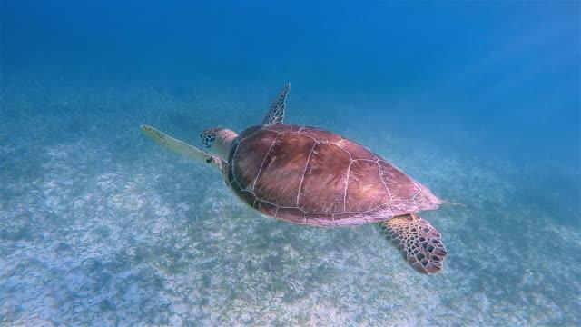 green sea turtle in caribbean sea , akumal bay - riviera maya / cozumel , quintana roo , mexico - tulum mexico stock videos & royalty-free footage