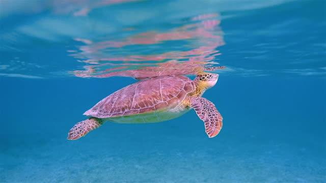green sea turtle in caribbean sea near akumal bay - riviera maya / cozumel , quintana roo , mexico - cozumel stock videos and b-roll footage