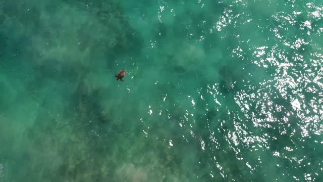 stockvideo's en b-roll-footage met groene zeeschildpad in kauai - soepschildpad