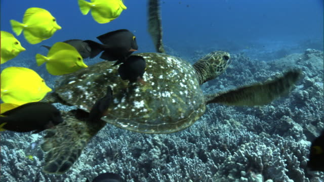 green sea turtle (chelonia mydas) leaves cleaning station on coral reef, hawaii - green turtle stock videos and b-roll footage