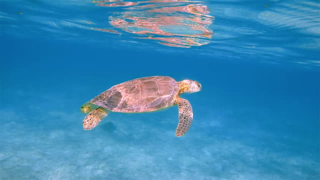 Green Sea Turtle on Akumal Bay in Caribbean Sea - Riviera Maya / Cozumel , Quintana Roo , Mexico