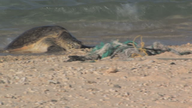 Green sea turtle (Chelonia mydas) on beach near rubbish. Conservation story - rubbish. Midway Island. Pacific