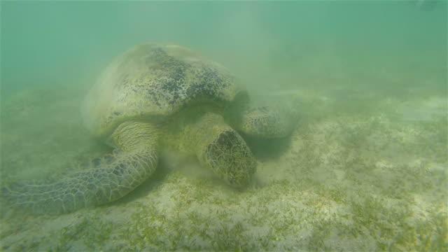 Green sea turtle on  Red Sea - Marsa Mubarak