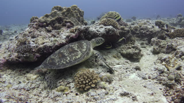 green sea turtle, palau - aquatic organism stock videos & royalty-free footage