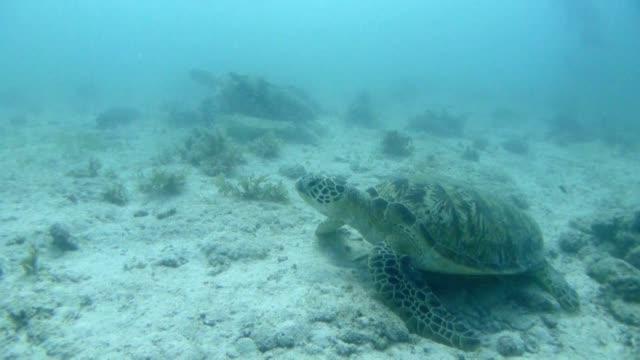 Green sea turtle, Sipadan, Malaysia