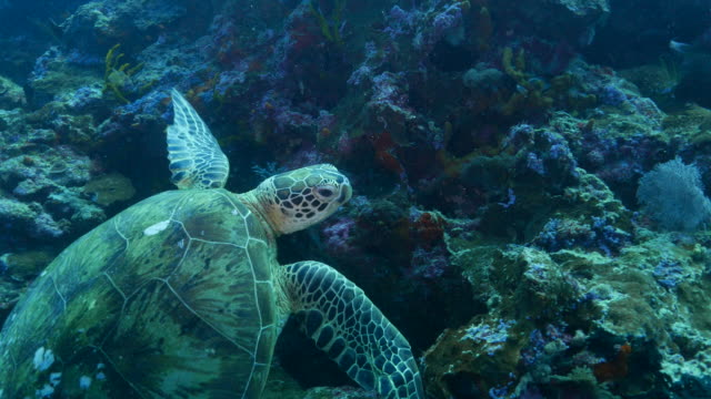 Green sea turtle stay on the coral reef (4K->FHD)