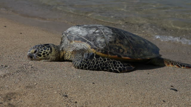 green sea turtle sunning on beach - sea turtle stock videos & royalty-free footage