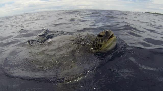 stockvideo's en b-roll-footage met green sea turtle surfaces in blue ocean, malaysia - soepschildpad