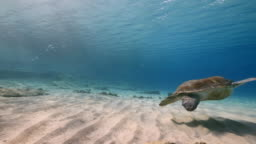 Green Sea Turtle swim in shallow water of the coral reef in the Caribbean Sea around Curacao