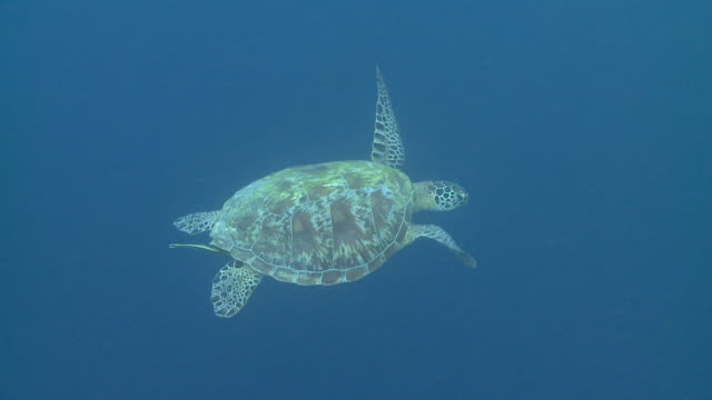 green sea turtle (chelonia mydas) swimming against blue, southern visayas, philippines - turtle shell stock videos & royalty-free footage