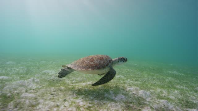 Green Sea Turtle swimming along sea grass