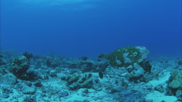 slo mo pov green sea turtle (chelonia mydas) swimming around coral reef / moorea, tahiti, french polynesia - invertebrate stock videos & royalty-free footage