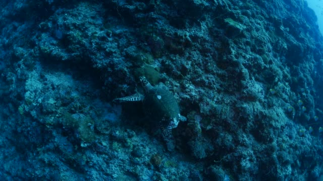 green sea turtle swimming, coral reef - green turtle stock videos and b-roll footage