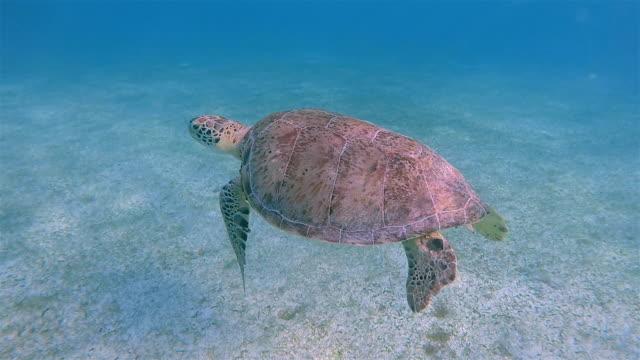 green sea turtle swimming in caribbean sea near akumal bay - riviera maya / cozumel , quintana roo , mexico - mayan riviera stock videos & royalty-free footage