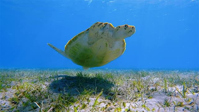 Grüne Meeresschildkröten Schwimmen im Roten Meer / Marsa Alam