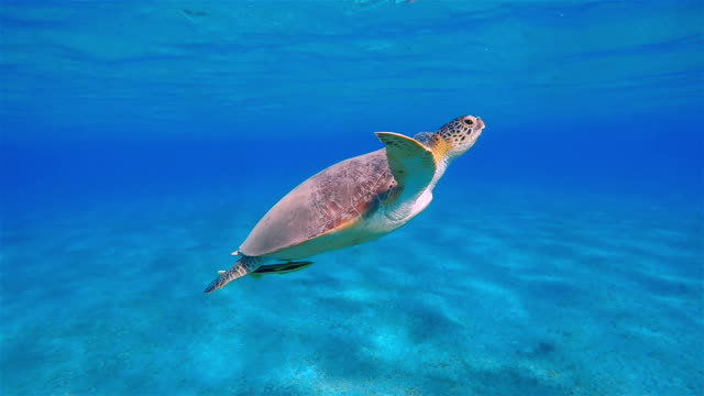 green sea turtle swimming in red sea near marsa alam - green turtle stock videos and b-roll footage