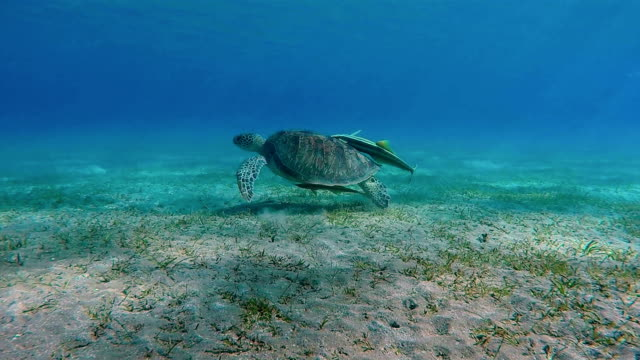 Green Sea Turtle swimming in Red Sea