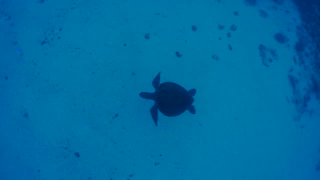 green sea turtle swimming in undersea sand - green turtle stock videos & royalty-free footage