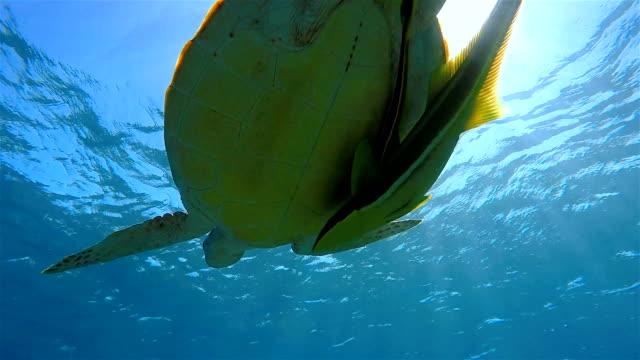 Grüne Meeresschildkröte Schwimmen am Roten Meer