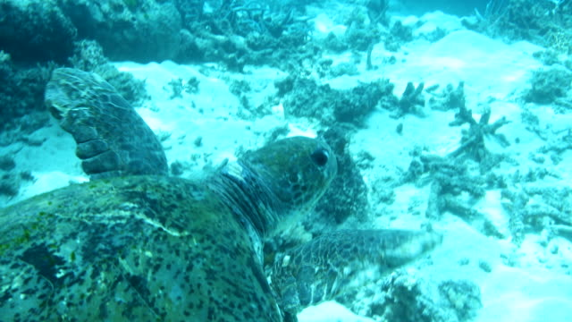 green sea turtle swimming through bleached coral reef - koralle nesseltier stock-videos und b-roll-filmmaterial