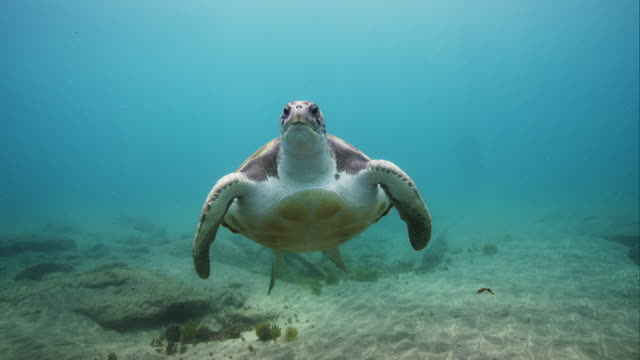 stockvideo's en b-roll-footage met green sea turtle swimming towards camera - schildpad