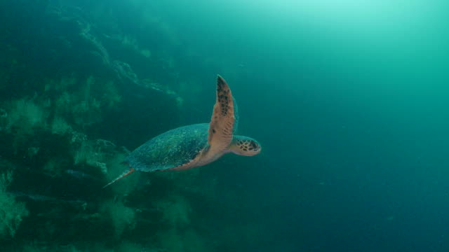 green sea turtle swimming undersea, galapagos - green turtle stock videos & royalty-free footage