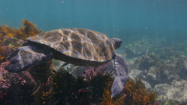 green sea turtle swimming undersea, galapagos - galapagos islands stock videos & royalty-free footage