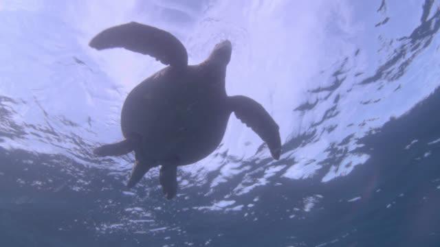 green sea turtle (chelonia midas) swims at surface of blue ocean, sipadan, malaysia - green turtle stock videos & royalty-free footage