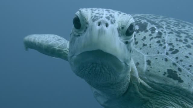 green sea turtle (chelonia midas) swims in blue ocean, sipadan, malaysia - chelonioidea stock-videos und b-roll-filmmaterial