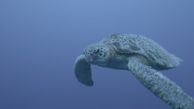 stockvideo's en b-roll-footage met green sea turtle (chelonia midas) swims in blue ocean, sipadan, malaysia - soepschildpad